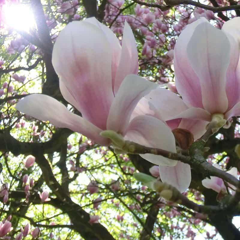 Magnolienbäume Nordheide – Koppermann - Garten- u. Landschaftsbau